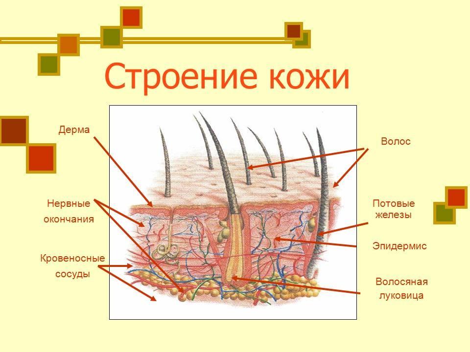 Строение кожи и ее функции реферат 6422